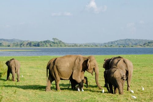 Sri Lanka Tours and Private Driver - Visit Minneriya and see elephants