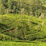 Sri Lanka Tours and Private Driver - Visit Nurawa Eliya tea plantation