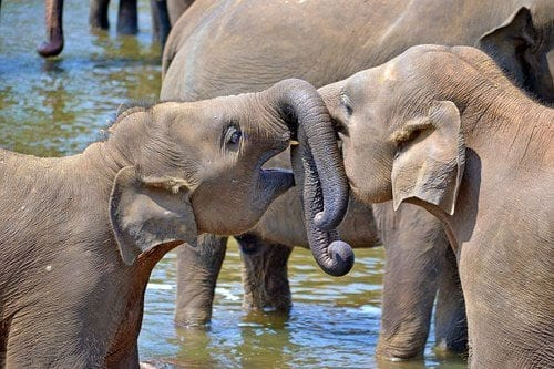 Two young elephants with their trunks entwined playing in the water at Pinnawala on the Trusted Tours day tour