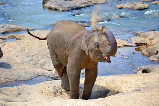 Pinnawala baby elephants - visit them with Sri Lanka Trusted Tours
