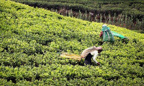Sri Lanka Tours and Private Driver - Visit Tea harvest at tea plantation in Sri Lanka