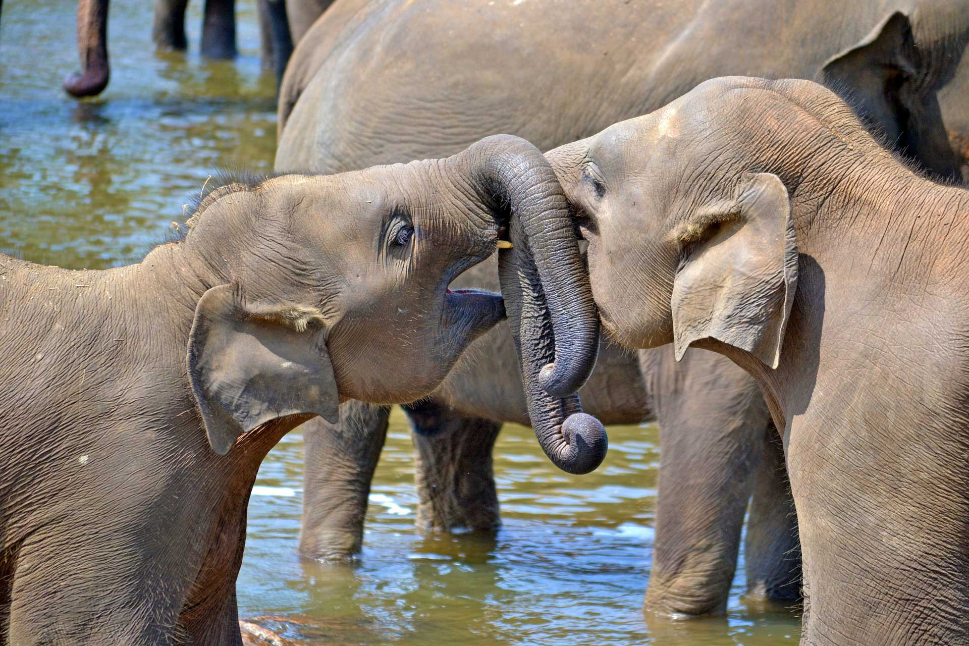 Sri Lanka Tours and Private Driver - Visit - Elephants at Pinnawalla